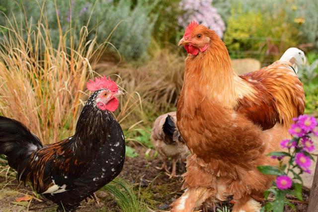 Cochin chickens
