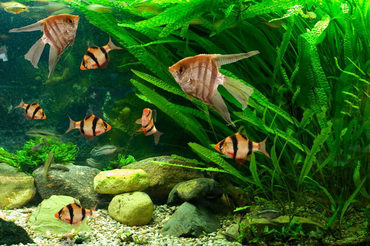 Freshwater angelfish care for Fresh water fish