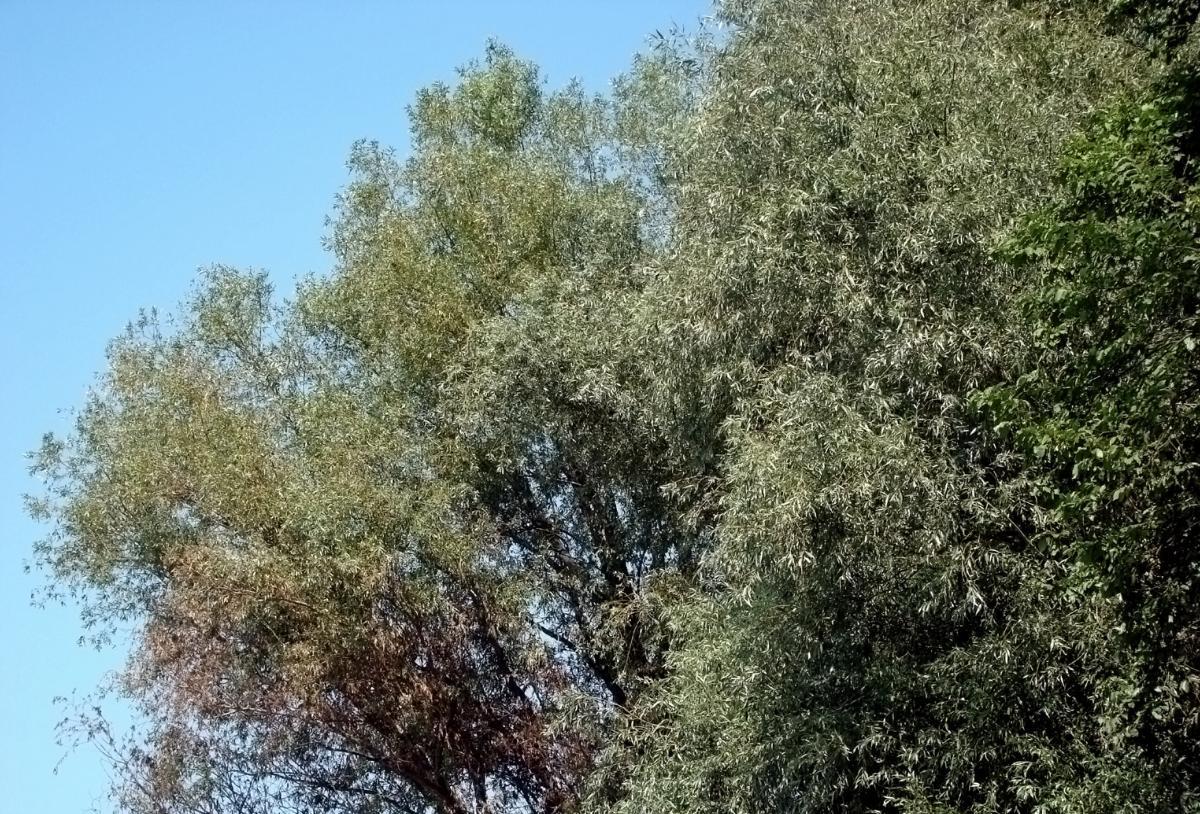 Willow Acacia Tree