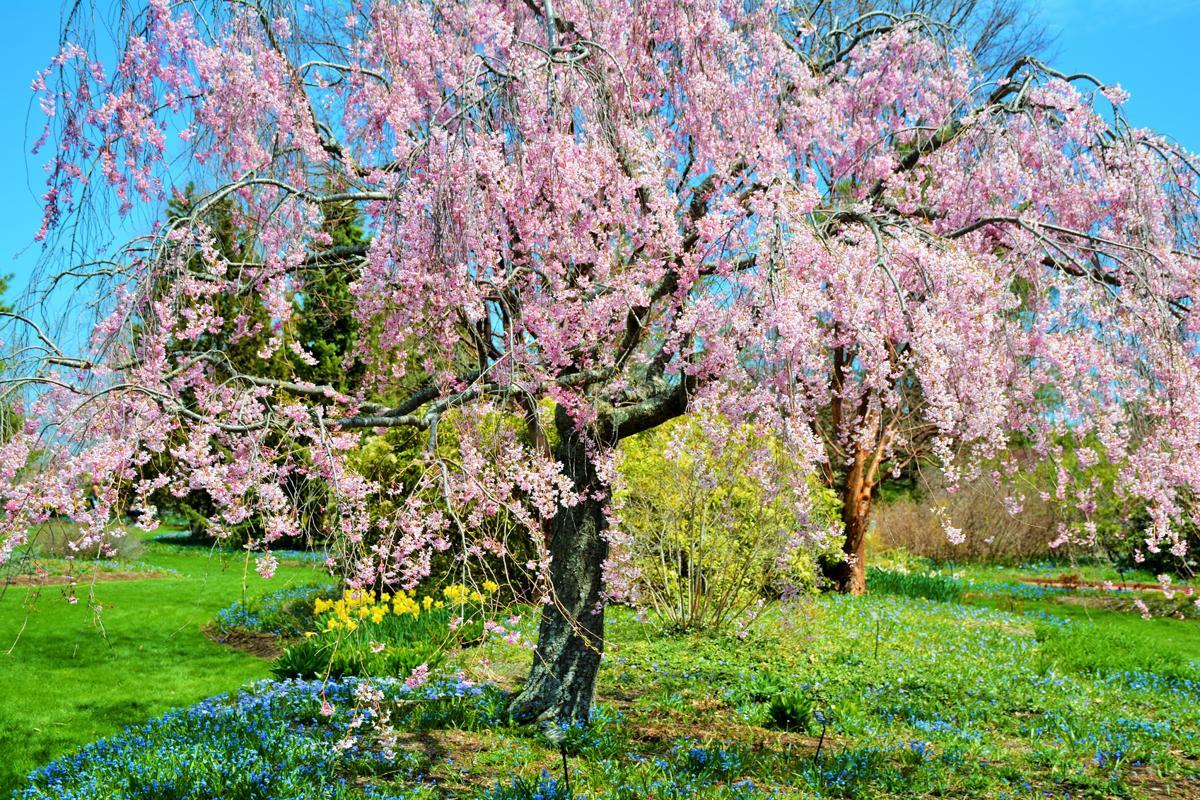 Dwarf weeping cherry tree for Dwarf flowering trees