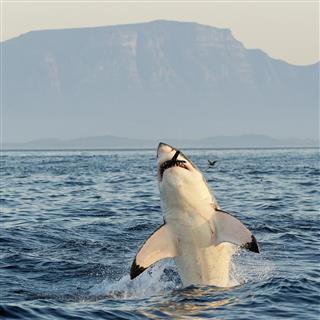 White Shark emerging