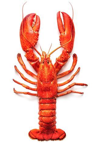sea lobster