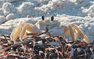 Island Crab Feeding