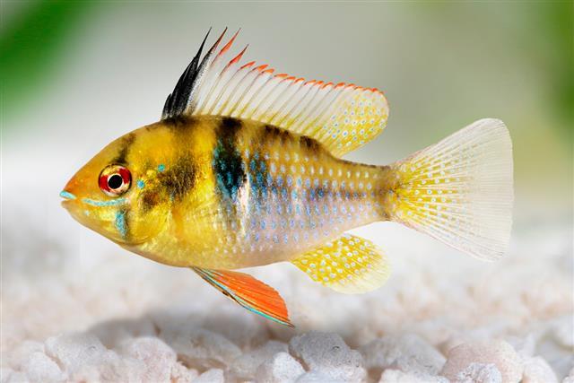 Mikrogeophagus ramirezi fish