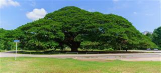 Tropical tree Giant Samanea