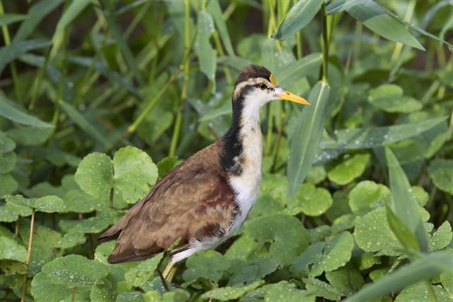 Tropical bird Jacana spinosa