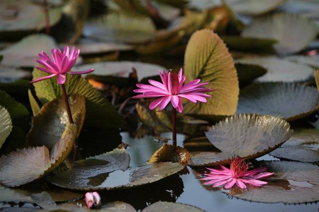 Tropical Plants Lotus