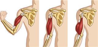 Biceps muscle