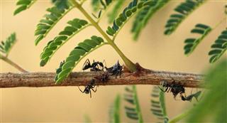 Ants feeding drinking plant tree bug africa acacia leaf