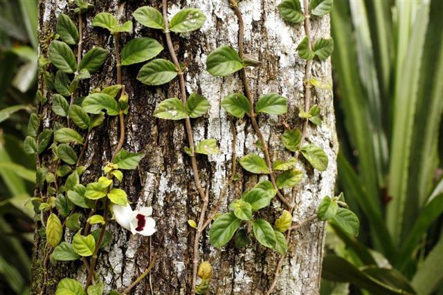 Climbing Liana plant