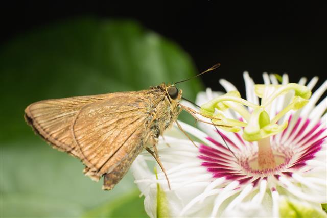 Butterfly Skippers (Hesperiidae)