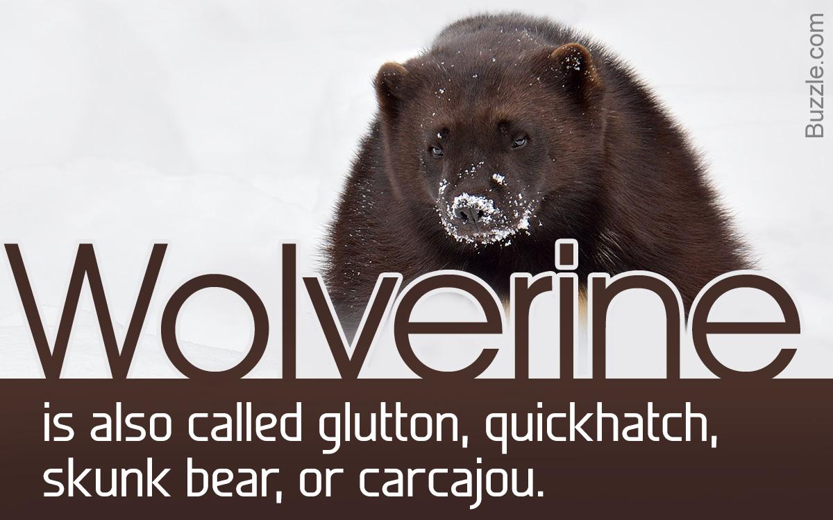 Wolverine Facts