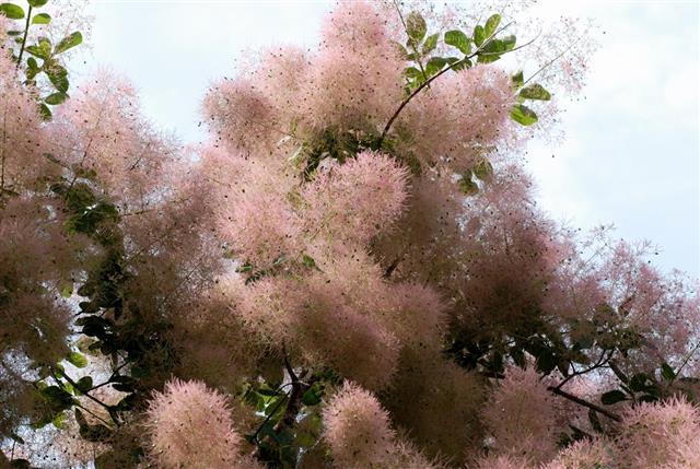 Smoke bush blooming
