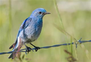 Mountain Bluebird on a Wire