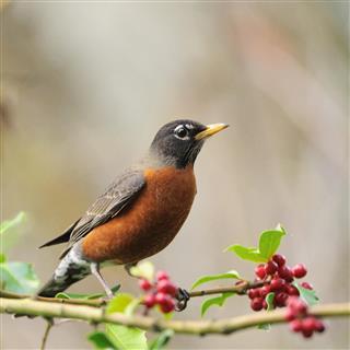Brown American Robin