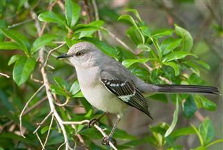 The Northern Mockingbird sitting in tree