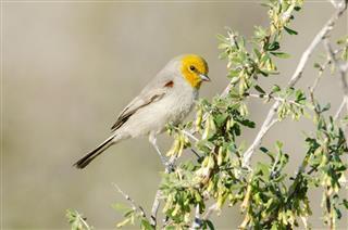 Verdin bird, Arizona