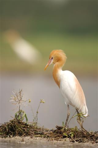 Cattle egret in the fields