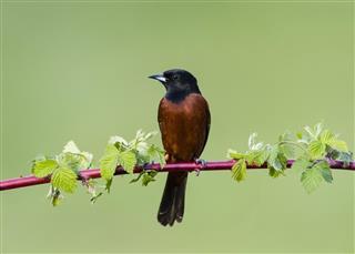 Orchard Oriole, Icterus Spurius, male bird perching in springtime