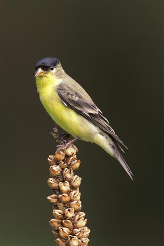 Male Lesser Goldfinch (Carduelis psaltria)