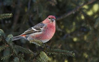 Pine Grosbeak male