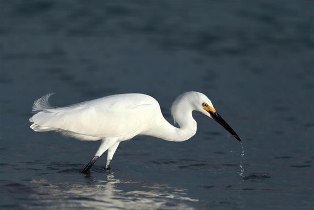 Snowy egret, Egretta thula, looking for food