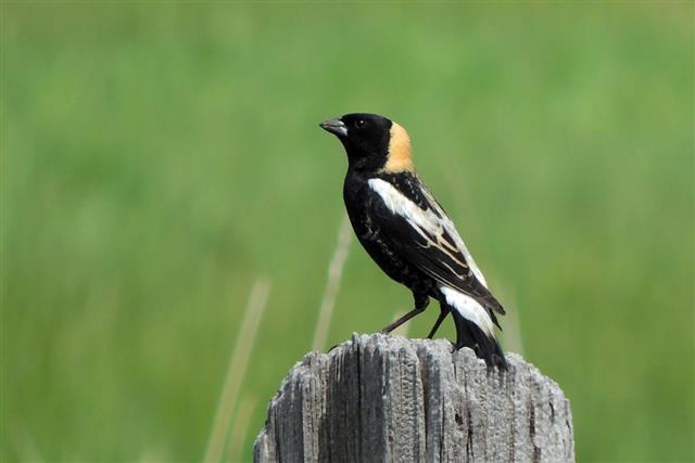 Bobolink bird