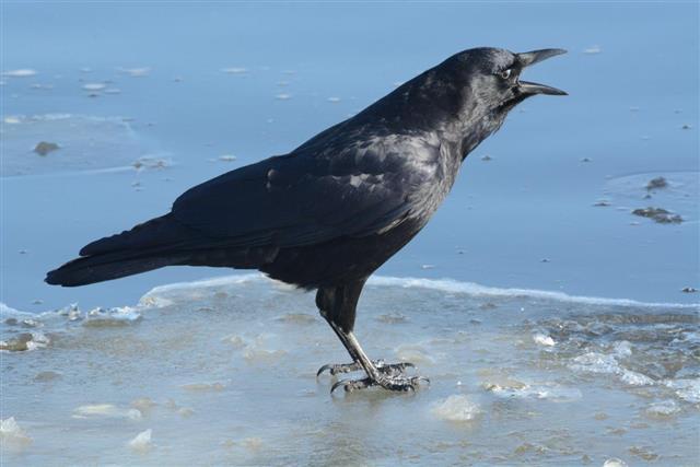 American crow (Corvus brachyrhynchos) cawing