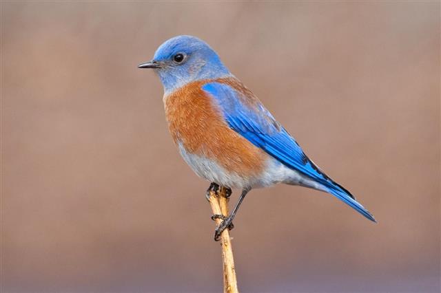 Male Western Bluebird Perched on a Stalk