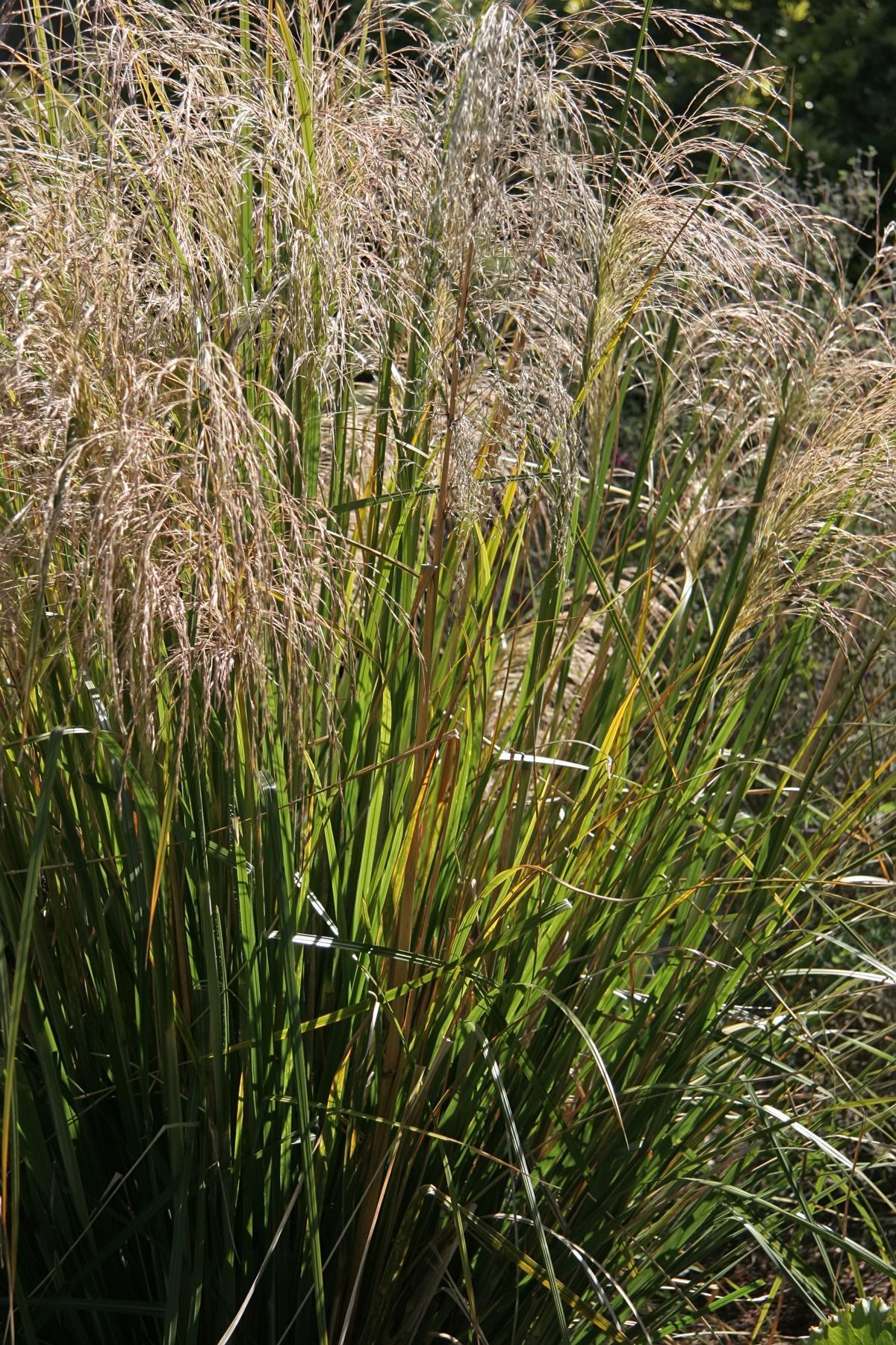An a z list of ornamental grasses that grow well in the shade for Names of ornamental grasses
