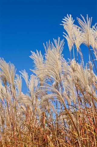 Graziella Maiden Grass