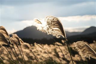 Shining Silver grass