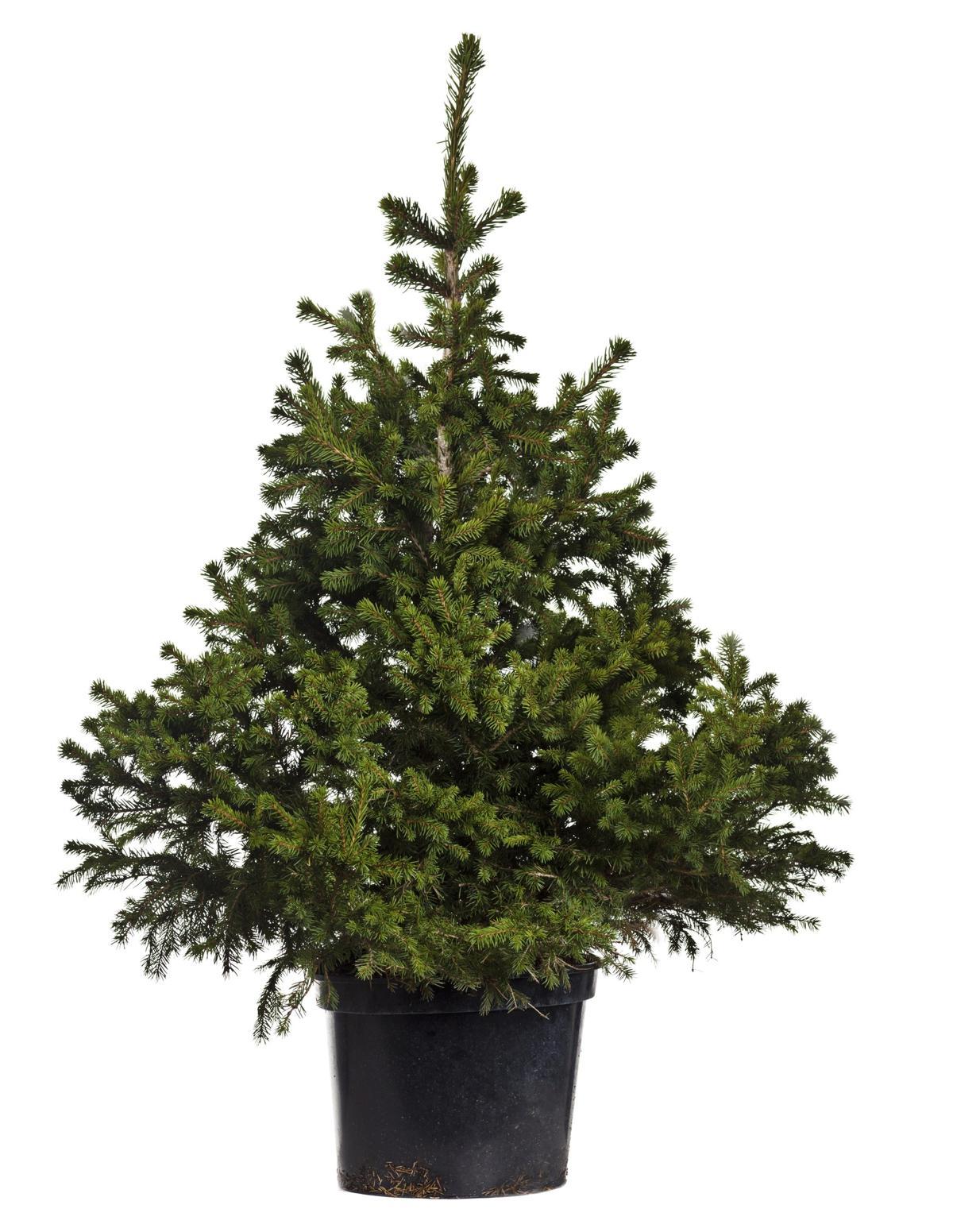 Fir Trees - Types