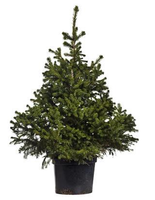 Fraser Fir tree