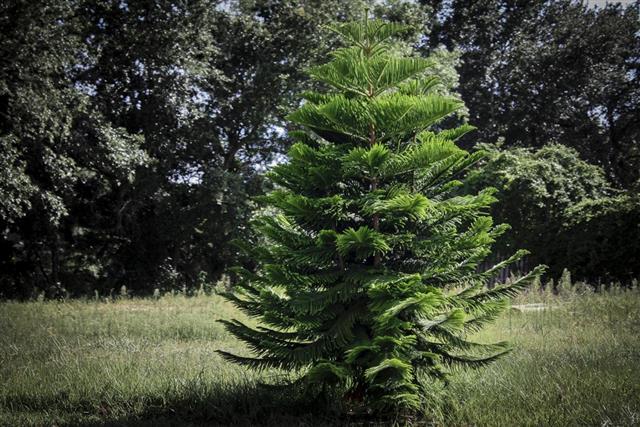 Noble Fir Tree