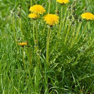 Dandelions Plant
