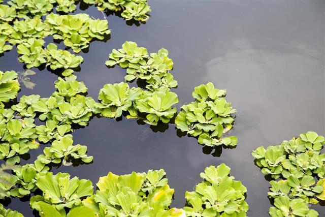 Duckweed- water plant