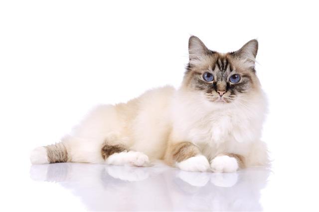 Beautiful Birman Cat