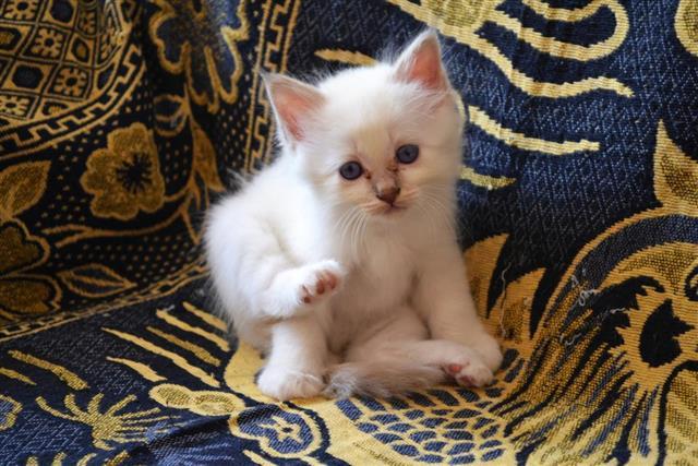 Birman Kitten blue tabby