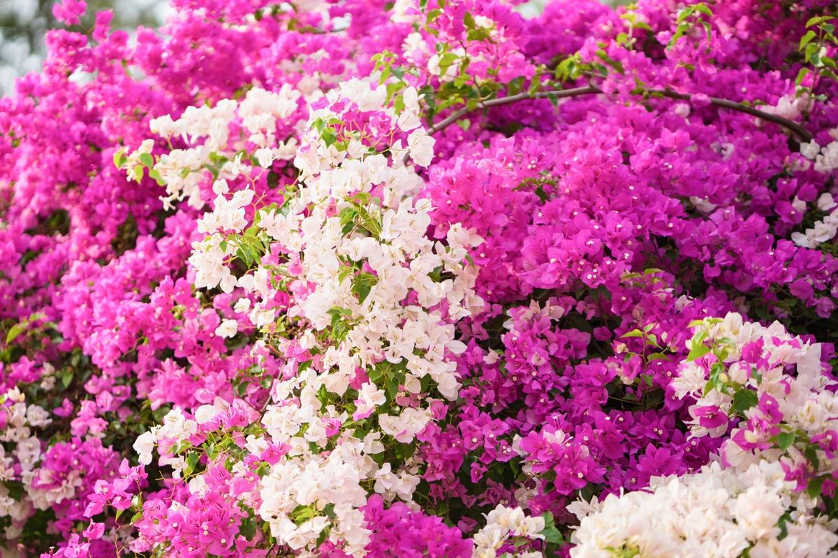 Vibrant bougainvillea colors to brighten up your dormant arena bougainvillea paper flower mightylinksfo