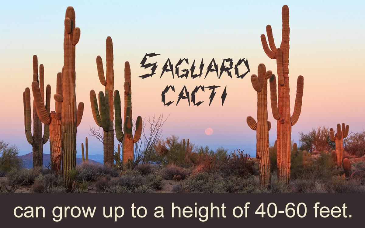 Saguaro Cactus Care