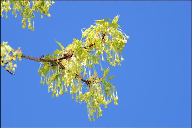 Sugar Maple Blossom