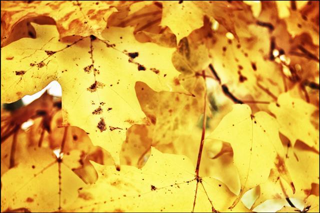 Grungy Autumn Sugar Maple Leaves