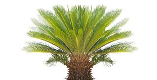 cycadophyta plant