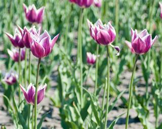 Tulip flower field.