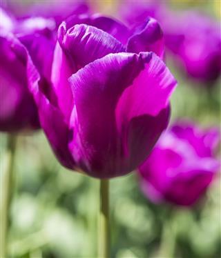 Tulip, Tulipa 'Passionale'