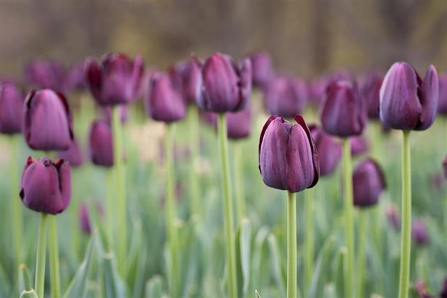 Recreado Purple Tulips