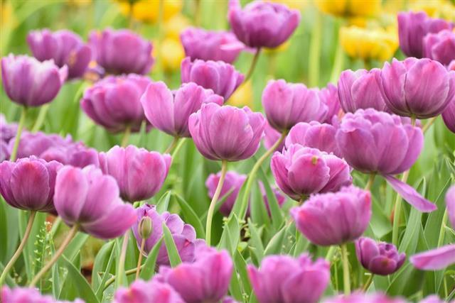 Vibrant Purple Tulip Flower background