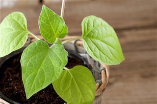 Physalis seedling growing in pot