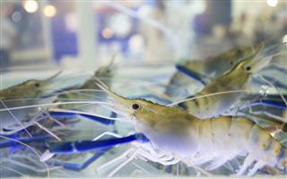 Closeup of fresh water prawn